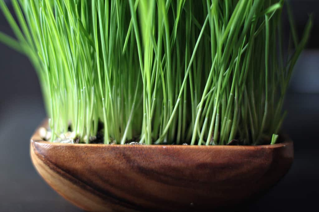 Ranking the best wheatgrass of 2020